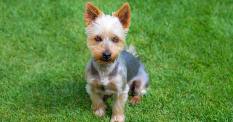 Australian Terrier puppy in a park