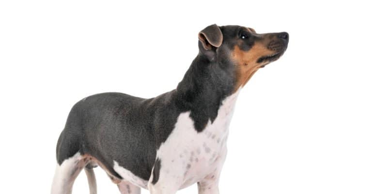 Brazilian Terrier standing against a white background