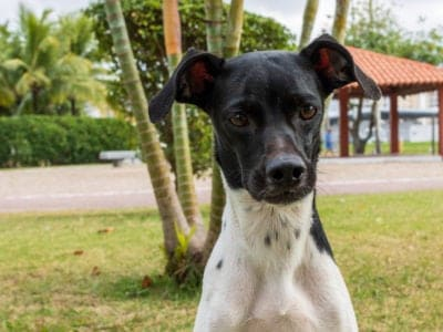 A Brazilian Terrier