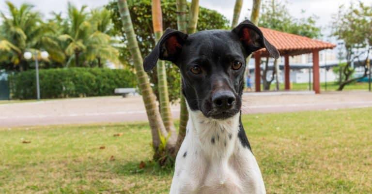 Brazilian Terrier standing in a park