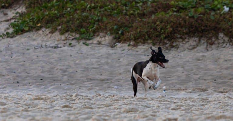 Brazilian Terrier running on the beach