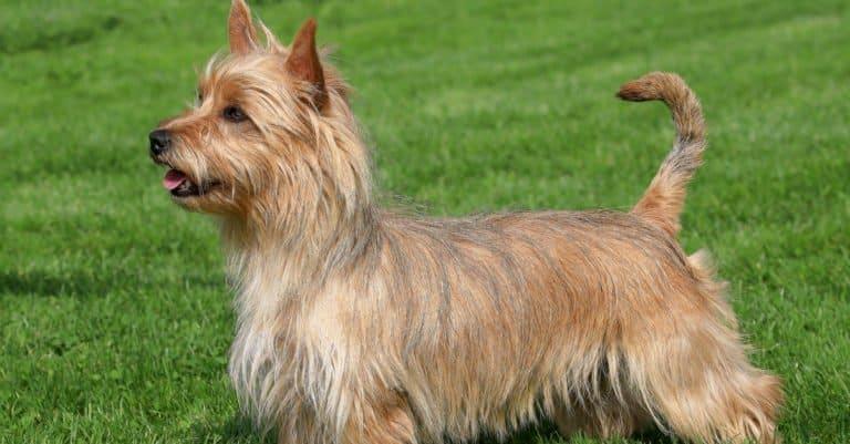 Australian Terrier standing in a park