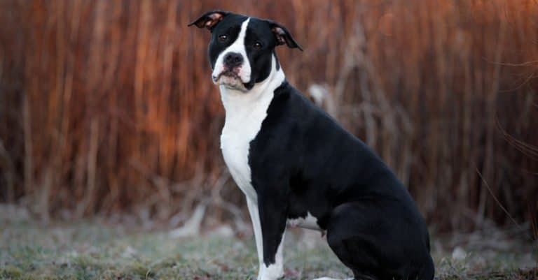 Black American Staffordshire Terrier sitting in the park