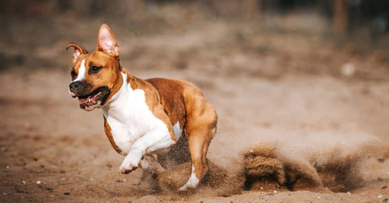 American Staffordshire Terrier running at full speed through the dirt