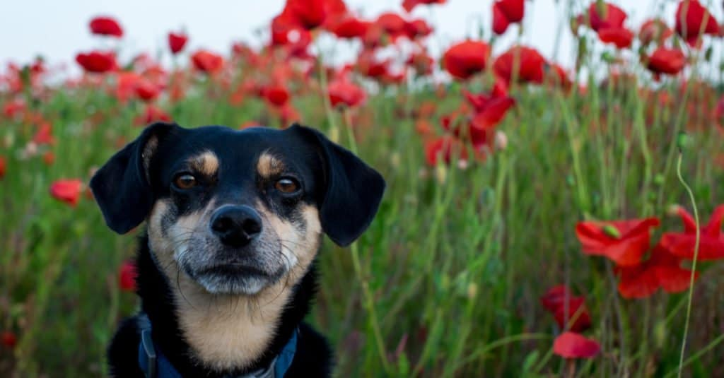 mongrel in a field of poppies