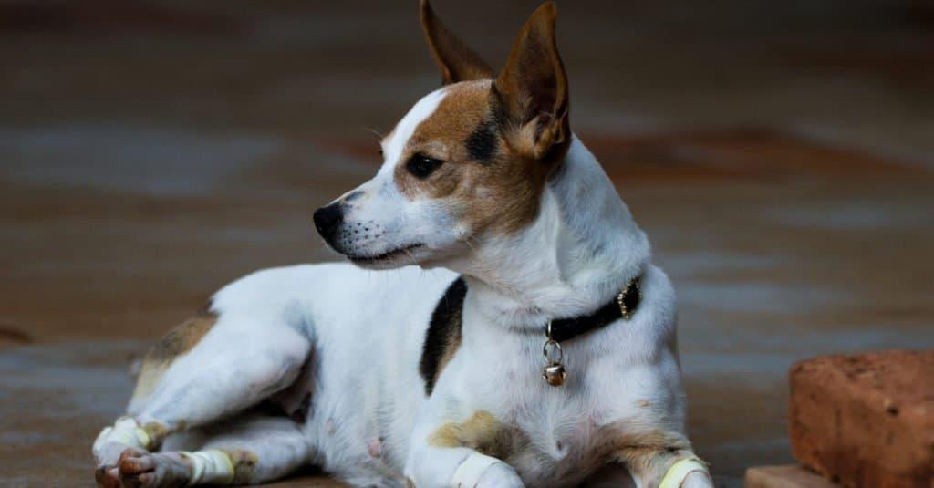 Brazilian Terrier Puppy