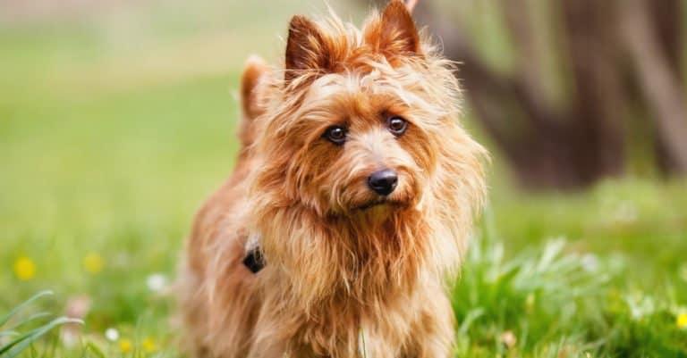Australian Terrier in a park