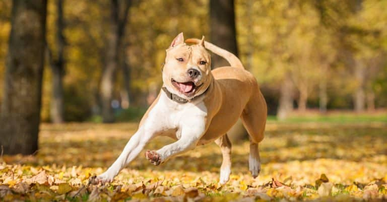 American Staffordshire Terrier running through the leaves