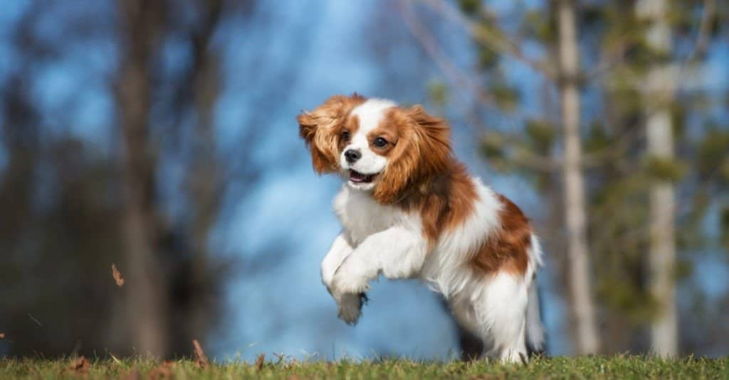 Cavalier King Charles Spaniel playing in the grass