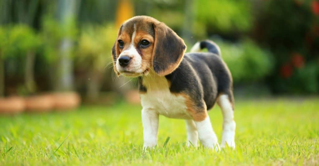 Beagle puppy standing in the grass