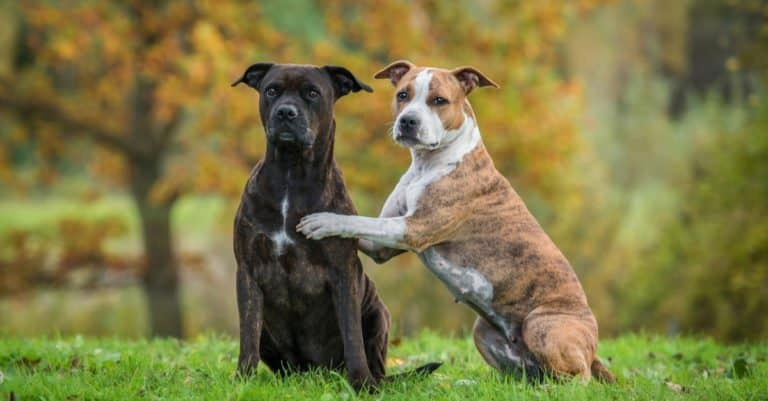 Two American Staffordshire Terriers sitting in the park
