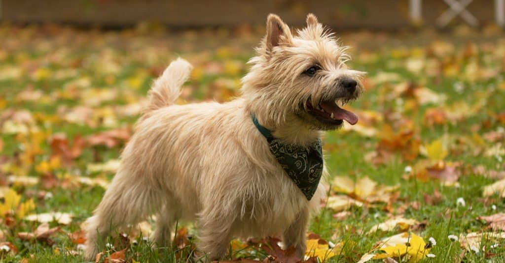 A Cairn Terrier standing in a field.