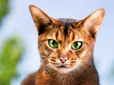 A Felis catus