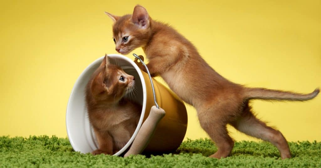 Abyssinian kittens playing