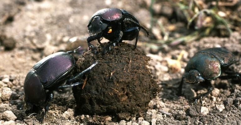 Dung beetles with a dung ball.