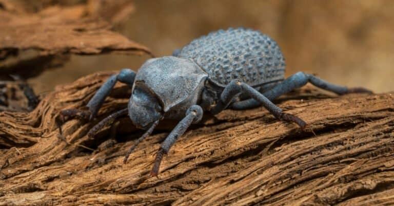 Asbolus verrucosus (desert ironclad beetles or blue death feigning beetles) beetle on desert driftwood.