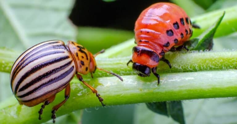 Colorado potato beetle and red larva crawling and eating potato leaves.