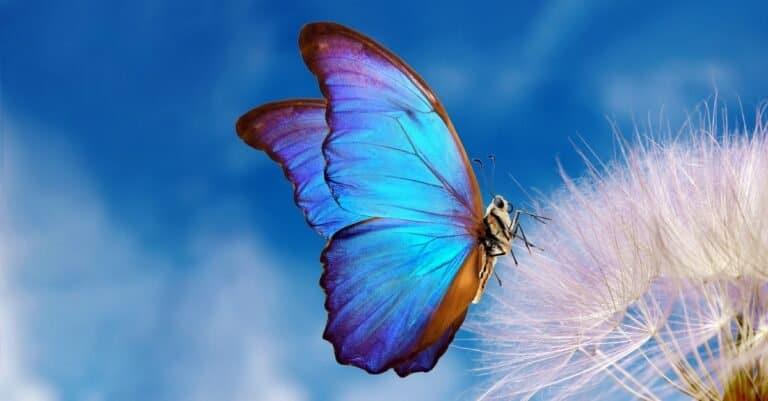 Butterfly sitting on a dandelion.
