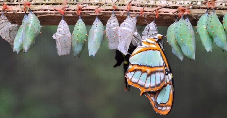 Rows of butterfly cocoons and newly hatched butterfly.