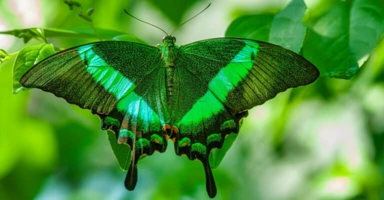 Close-up of green spotted malachite butterfly.