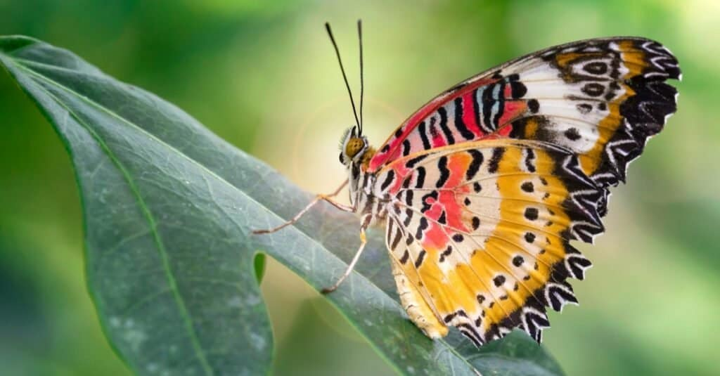 Beautiful butterfly with wide multicolored red and yellow wings on a leaf in a tropical botanical garden near Chiang Mai, Thailand.