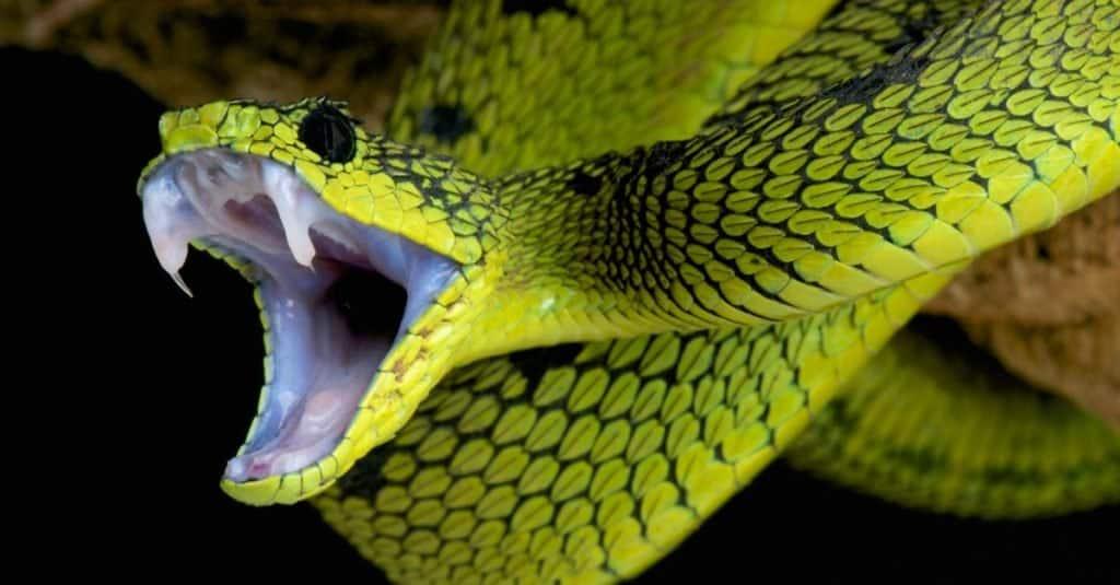 Snake, Great lakes bush viper