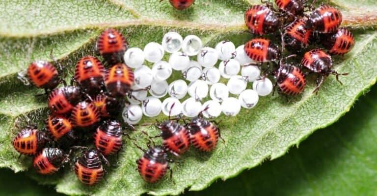 Ladybug larvae and eggs on a leaf.