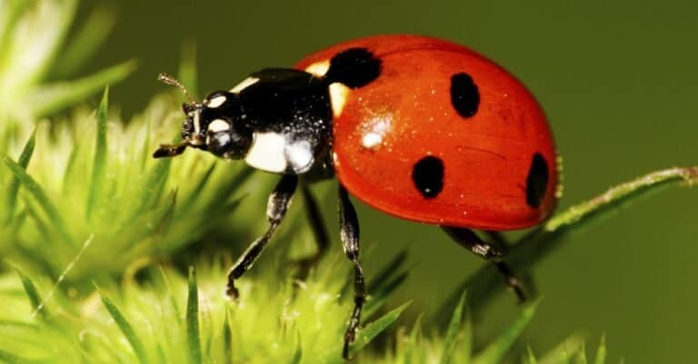 Caucasian red seven-spotted ladybug with black and white spots on the elytra, long legs, antennae has risen on legs in green inflorescence
