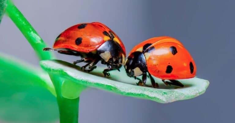 Two Ladybugs sitting on a green leaf.