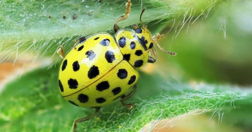 Beautiful yellow ladybug on a leaf.