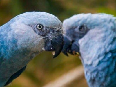 A Spixs Macaw