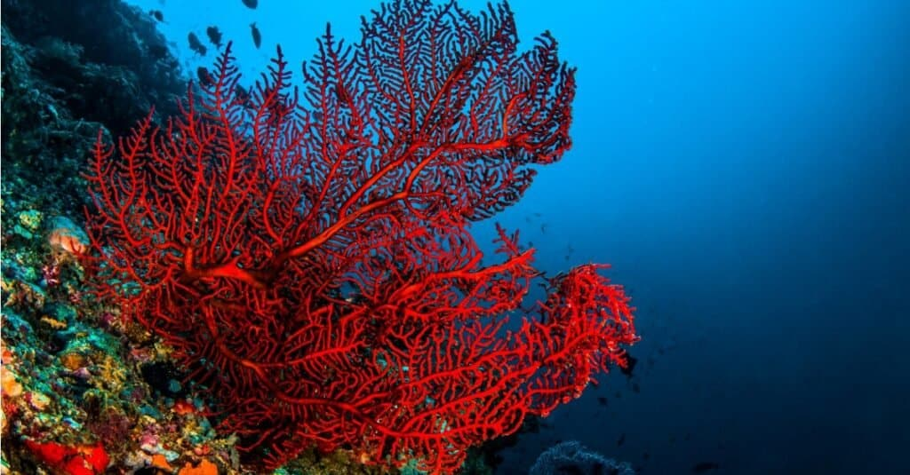 An red octocoral in Komodo.