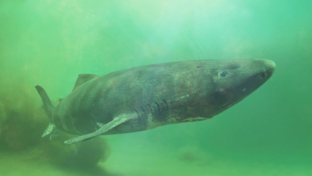 A Greenland shark swimming in murky water.