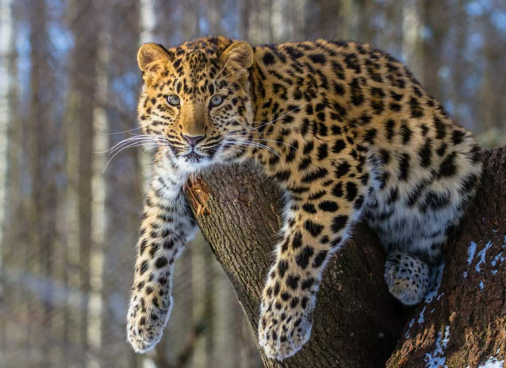 An Amur leopard lounging on a tree stump.