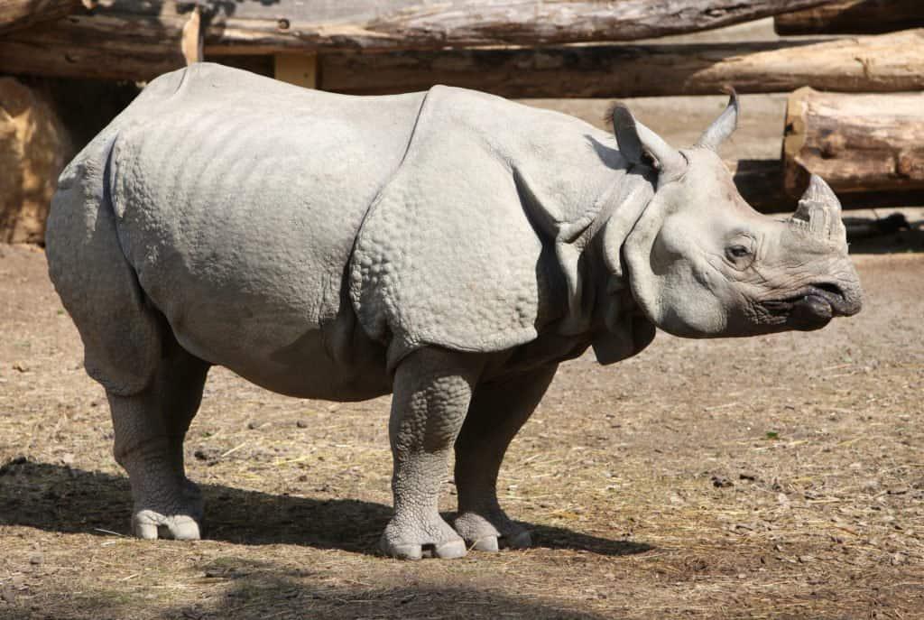 Un rinoceronte de Java en el recinto de un zoológico.