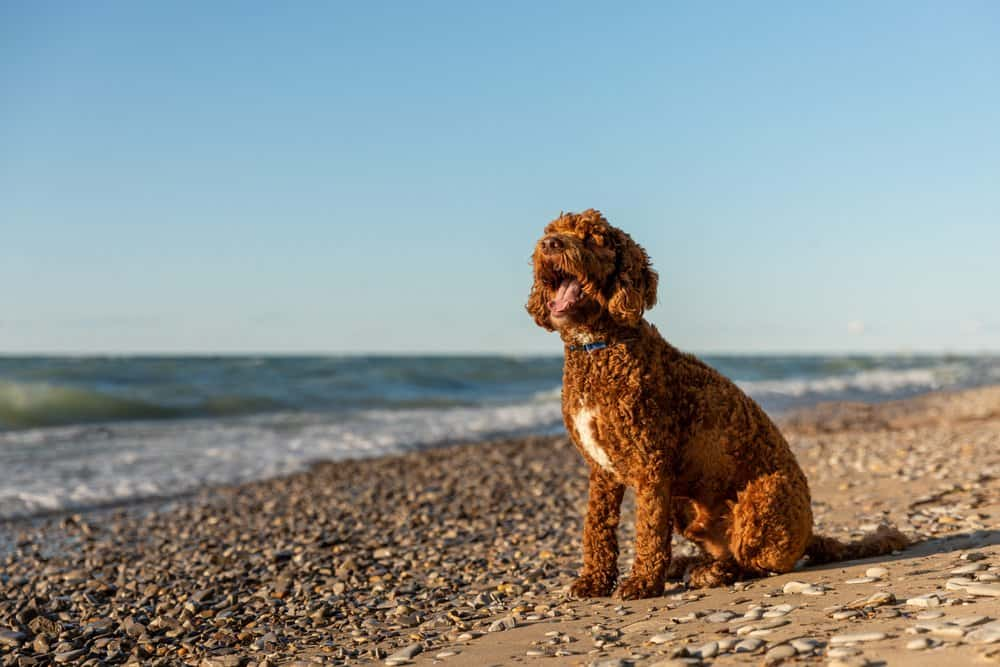 A labradoodle sitting on a rocky beach near a body of water.