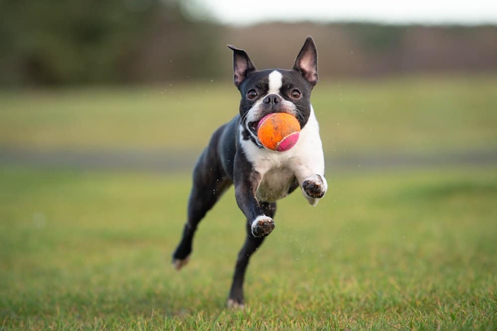 A Boston Terrier mid-leap with an orange and pink tennis ball in its mouth.