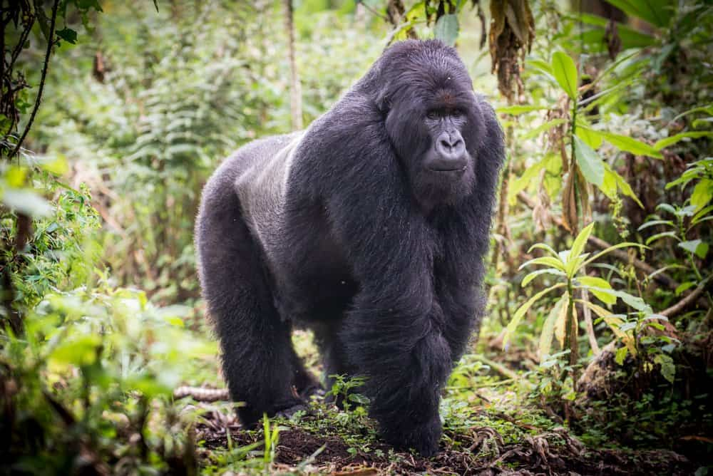 A large gorilla walking through a green forest.