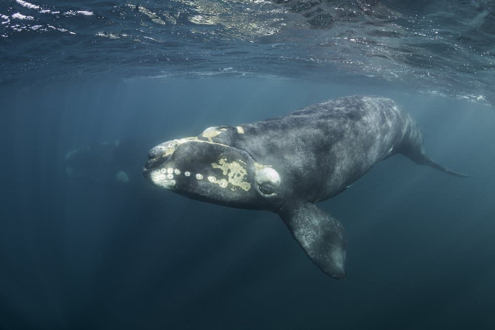 A North Atlantic right whale swimming in the ocean close to the surface.