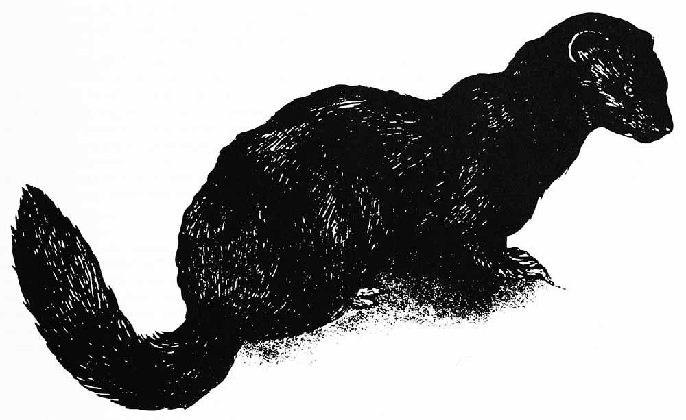 Un dibujo en blanco y negro de un visón marino.