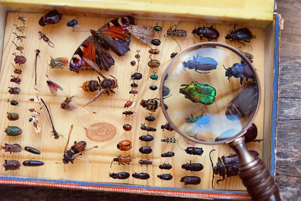 Various collected insects pinned in a box with a magnifying glass.