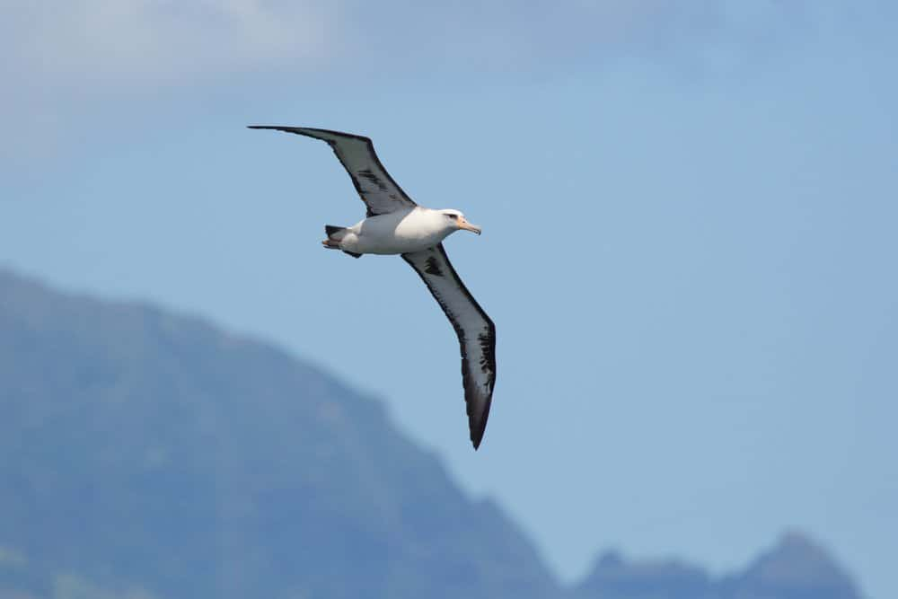 A Laysan albatross flying through a blue sky near mountains.