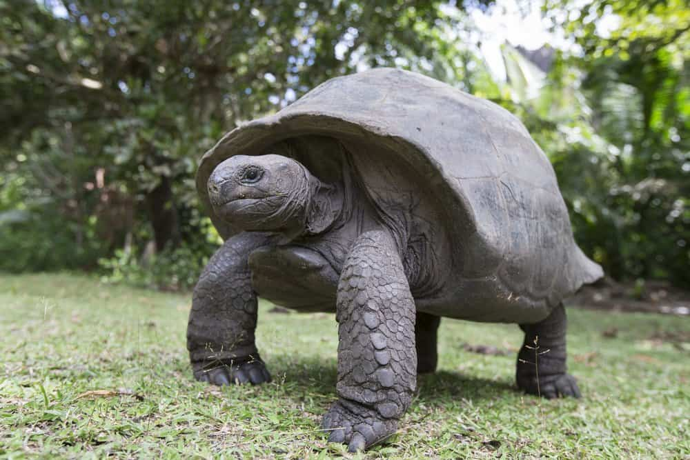 An Aldabra giant tortoise standing in the grass.