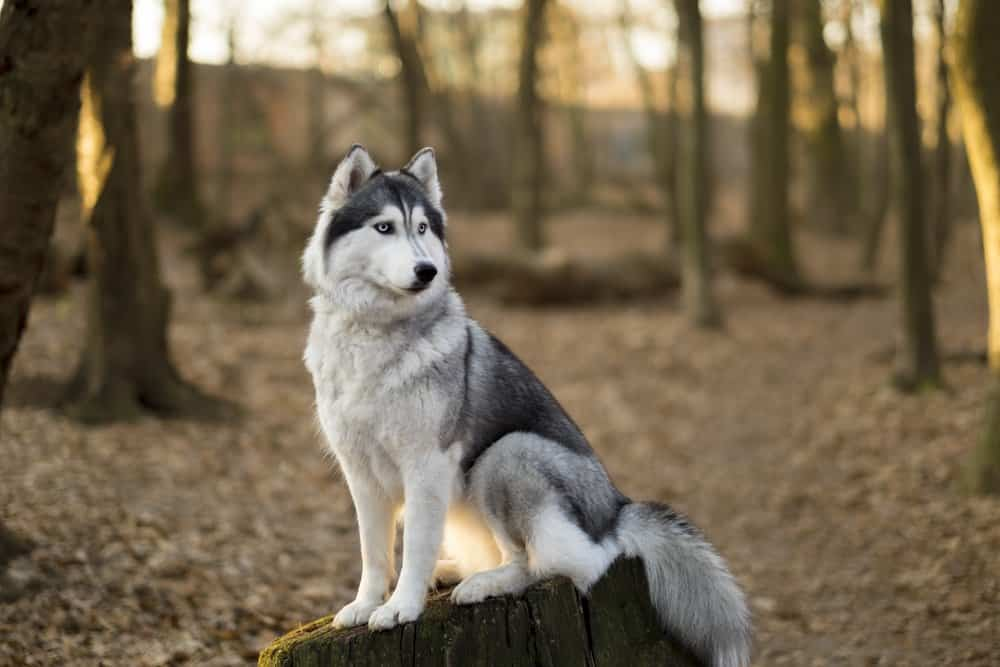 A Siberian Husky sitting on a tree stump in a forest.