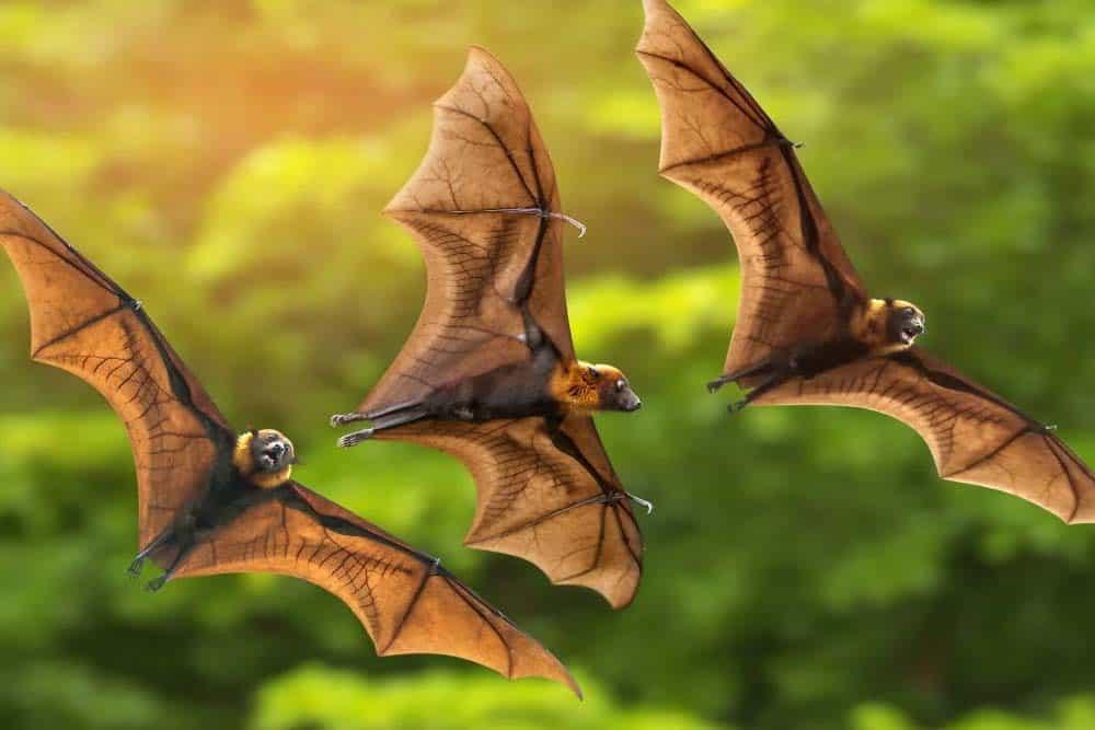 Tres murciélagos en pleno vuelo.