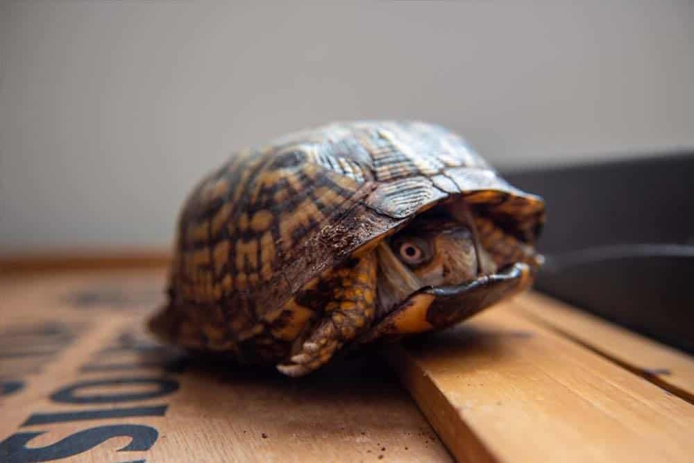 Una tortuga de caja metida en su caparazón.