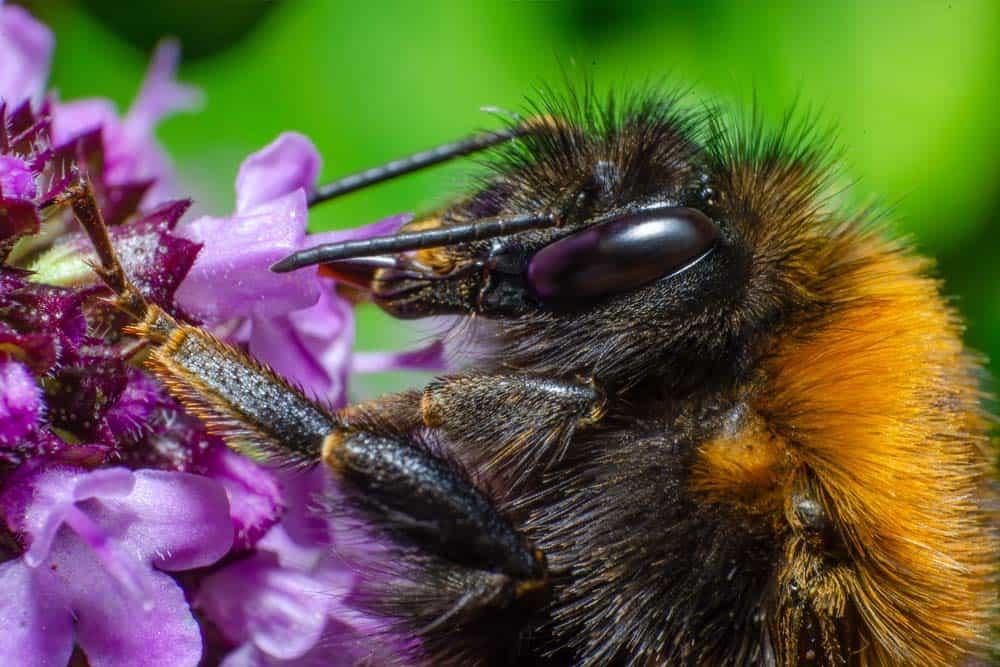 Un primer plano de un abejorro posado sobre una flor violeta.