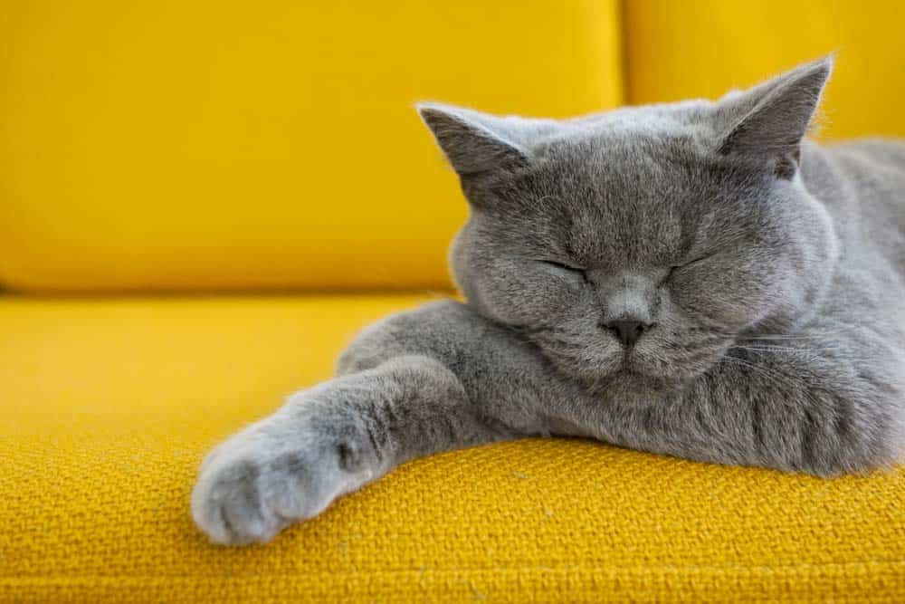 A grey cat sleeping on a yellow couch.
