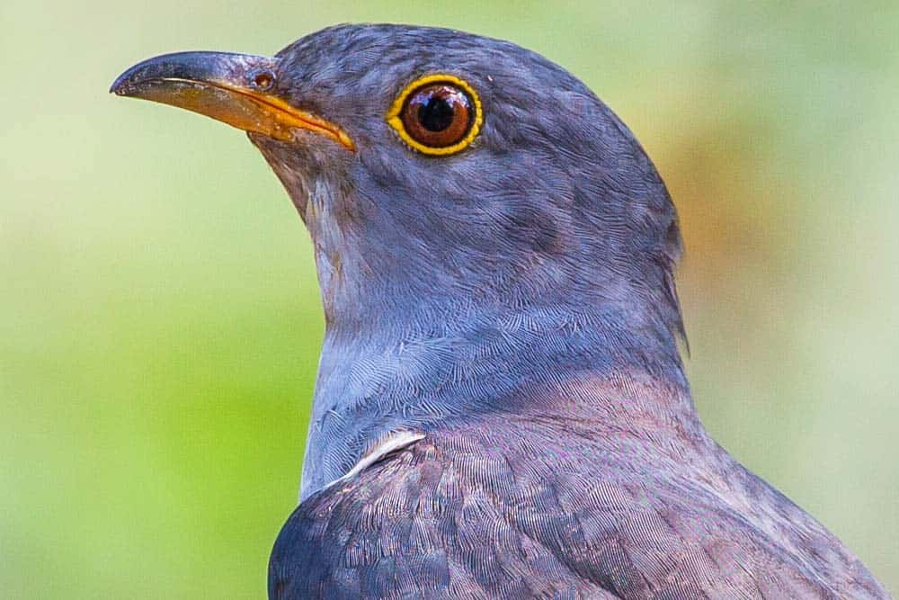 A close-up, side profile of a cuckoo bird.
