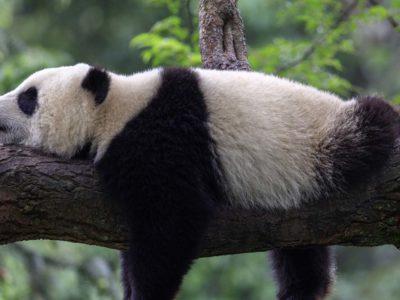 A Chinese Study: Habitat 'Sweet Spot' May Prevent Panda Inbreeding